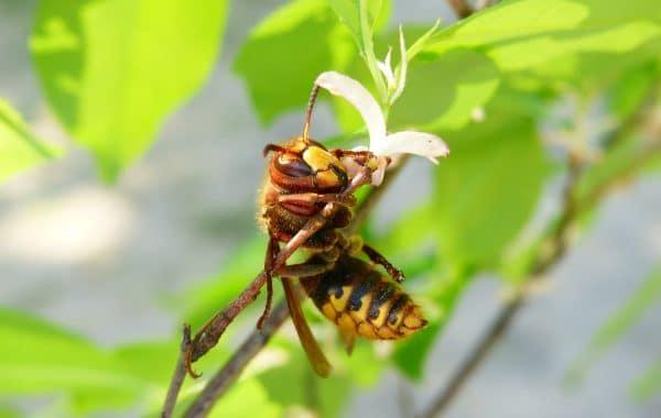 extermination nid de guepes Woluwe-Saint-Lambert