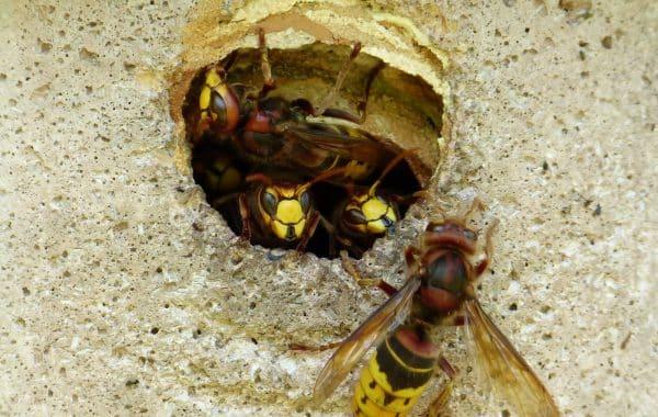 extermination nid de guepes Rixensart